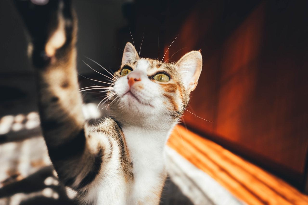 Die Dackelkatze ist die häufigste Hauskatze. Es hat keinen Stammbaum. Es kann verschiedene Farben haben.