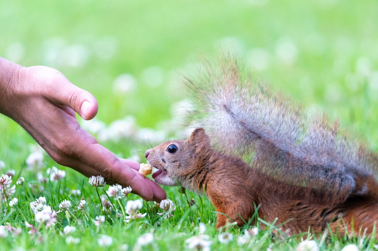 Und entgegen der landläufigen Meinung fressen Eichhörnchen nicht nur Eicheln