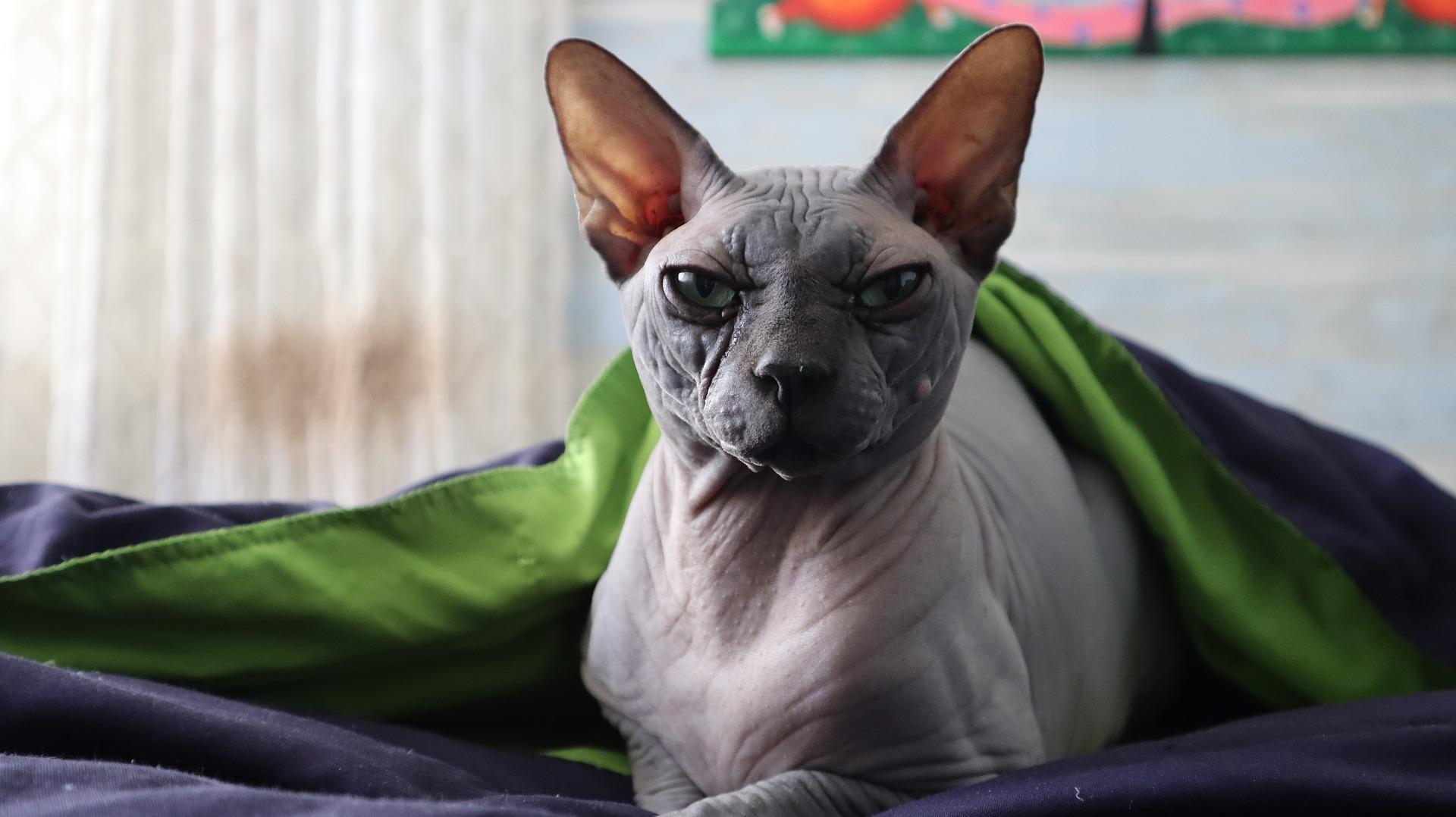 Nacktkatzen entstanden durch eine spontane genetische Mutation.