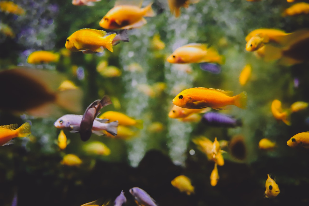 Krankheiten bei Aquarienfischen können aus verschiedenen Gründen entstehen.