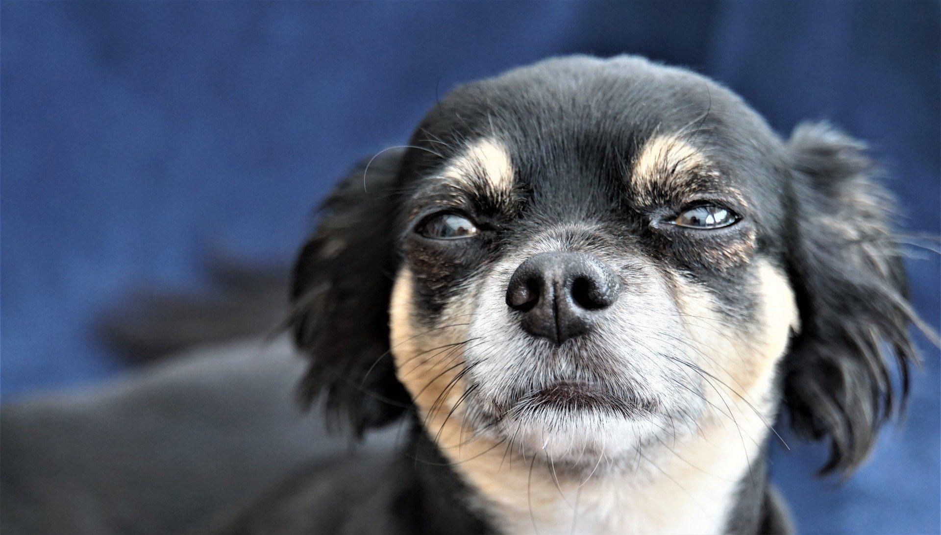 Können Tränen der Traurigkeit bei einem Hund auftreten?