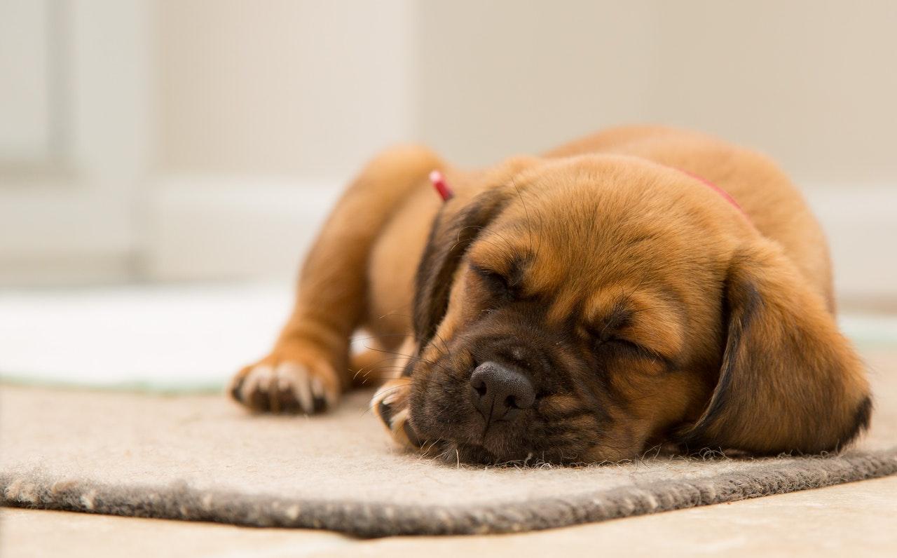 Was ist zu tun, wenn ein Hund hustet, Symptome eines hustenden Hundes?