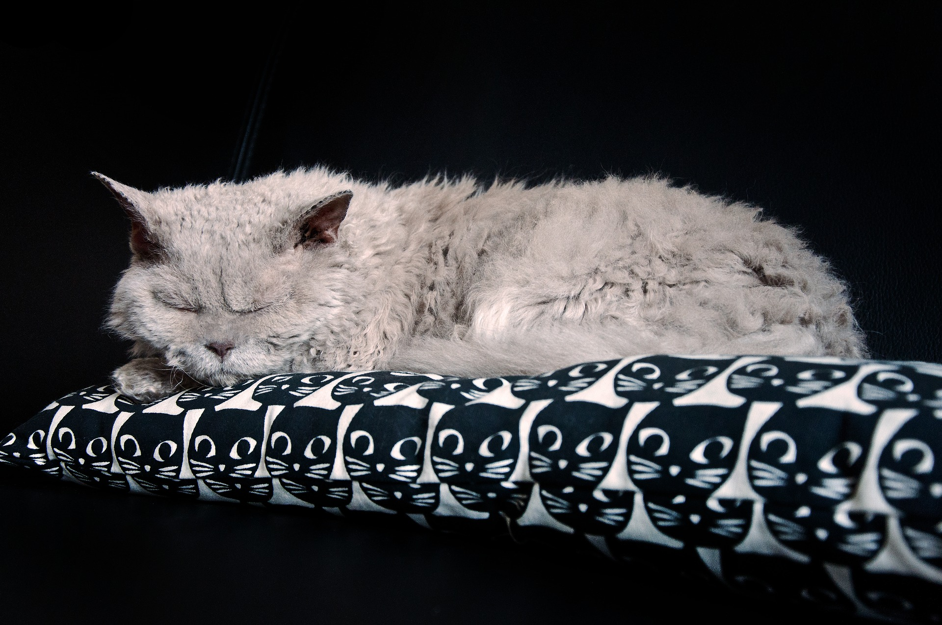 Selkirk Rex sind wunderschöne Katzen mit einem einzigartigen Fell, das dem eines Schafes ähnelt.