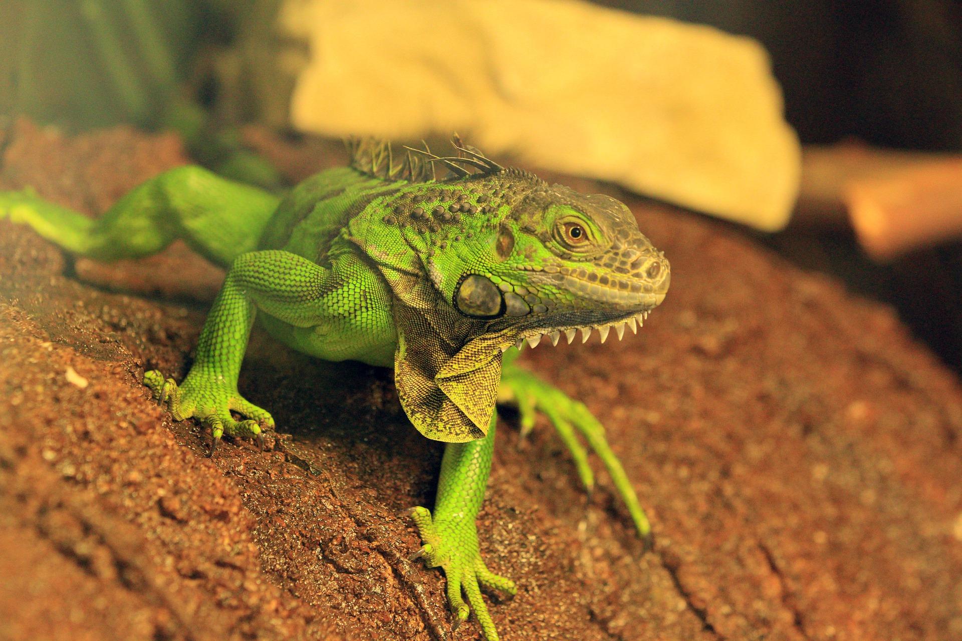 Ein erwachsener Grüner Leguan kann bis zu 2 Meter lang werden.