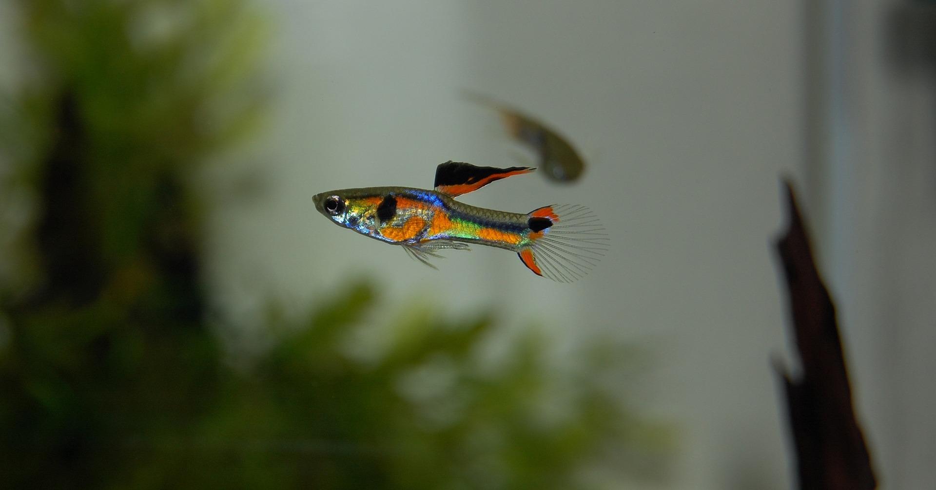 Guppys sind einer der beliebtesten Aquarienfische, Guppys kaufen.