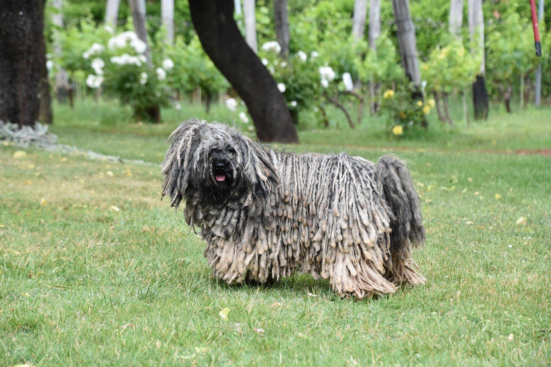 Der Komondor ist ein in Ungarn beheimateter Hirtenhund.