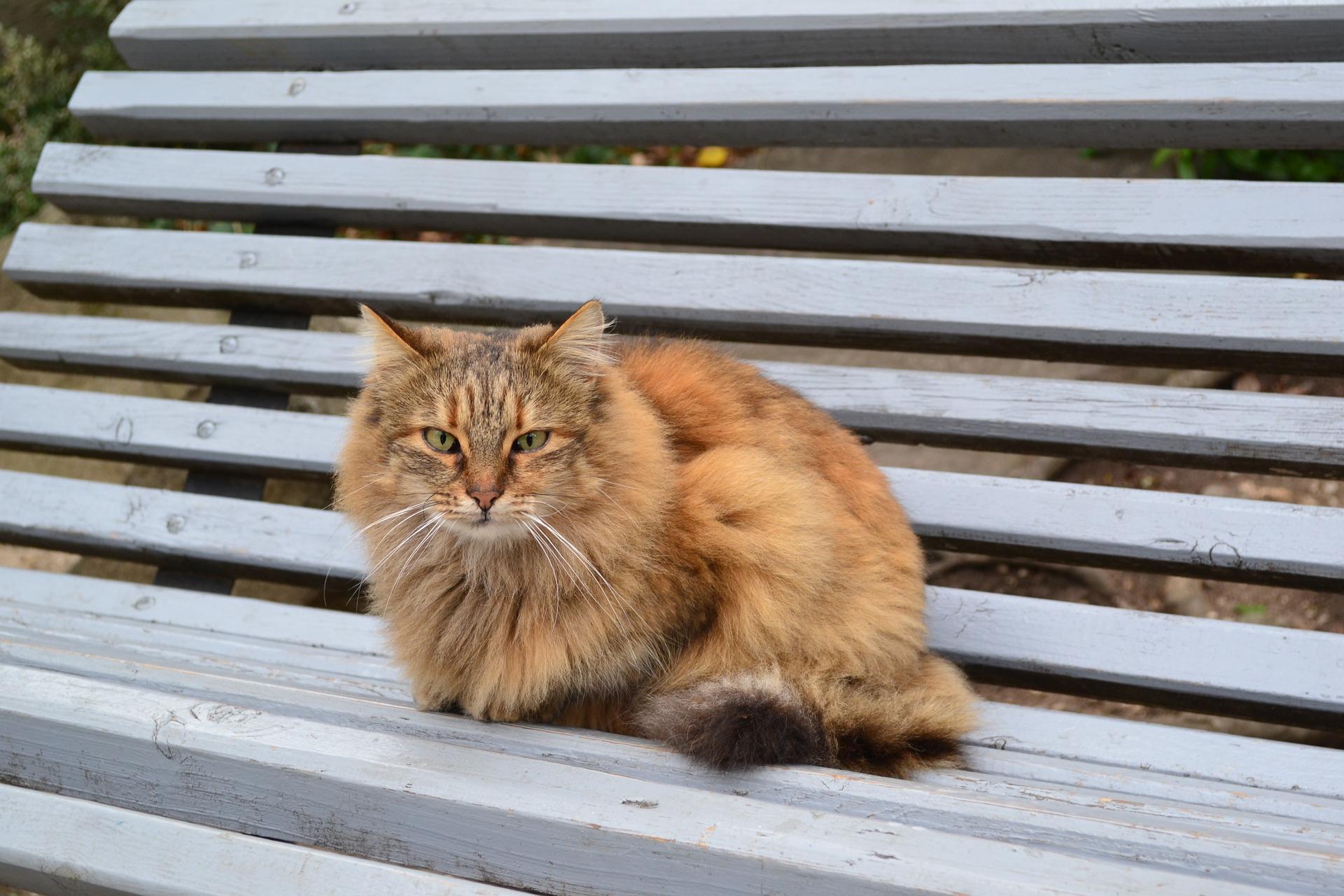 Fuchsartige Katzen sind halblanghaarige Verwandte der Abessinierkatzen.