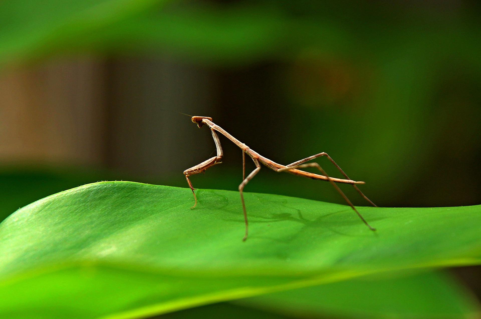 Stabheuschrecken sind interessante Insekten mit einem faszinierenden Aussehen.