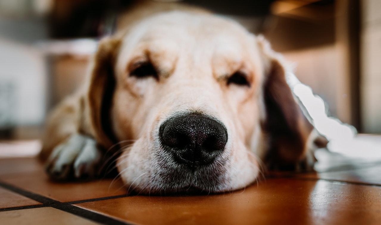Hat Ihr Hund eine trockene, warme Nase? Hundenase Krankheiten.