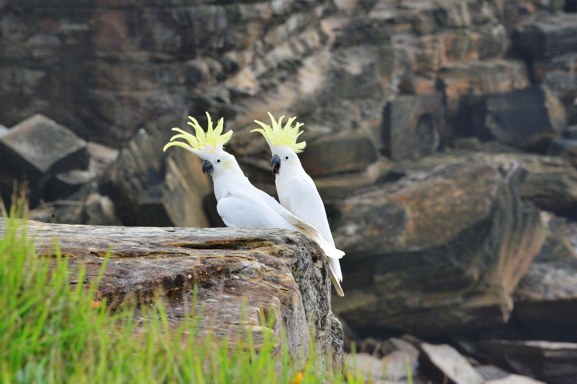 Der Kakadu soll der beste Vogelfreund des Menschen sein.