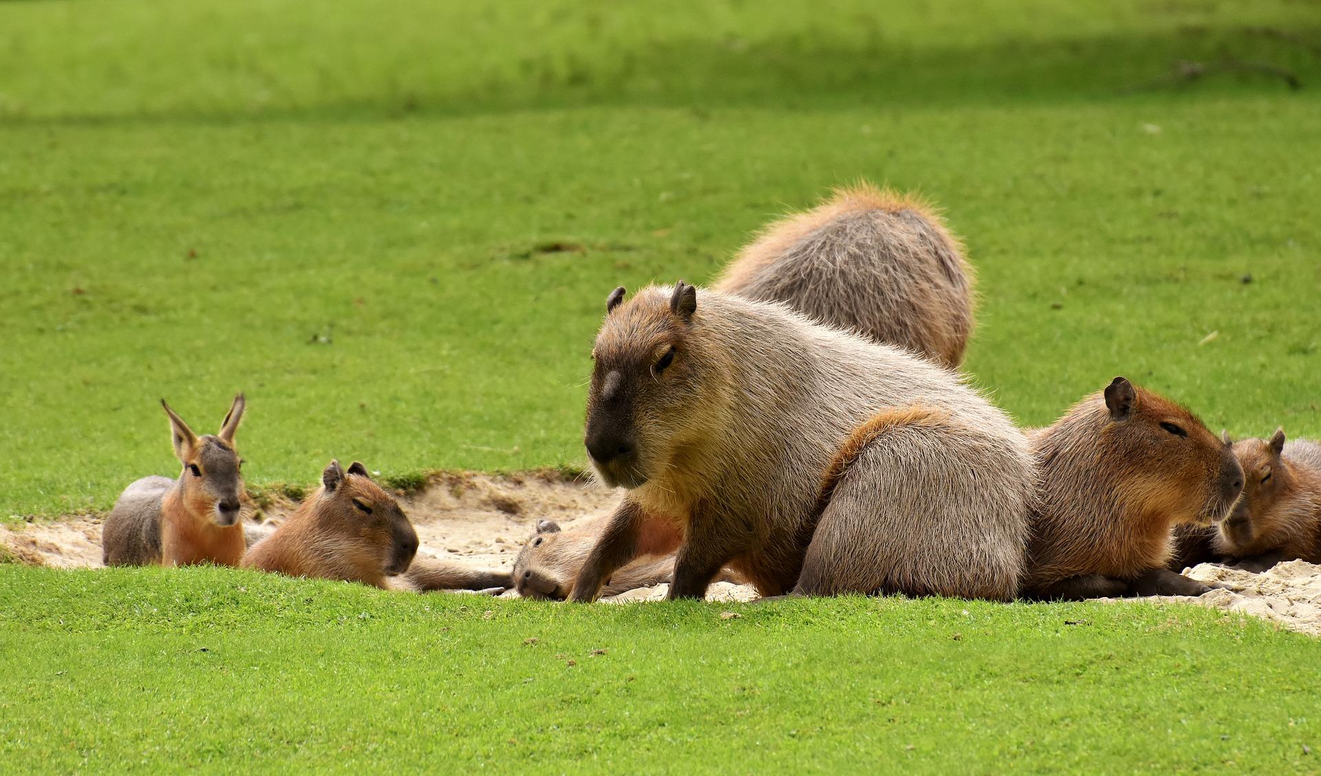 Das Capybara ist intelligent und kann gezähmt werden.