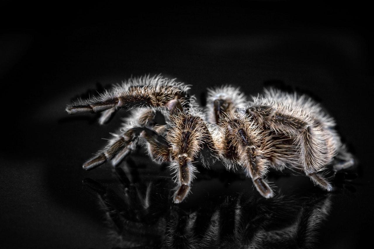 Welche Spinne ist am besten für die Heimzucht geeignet?