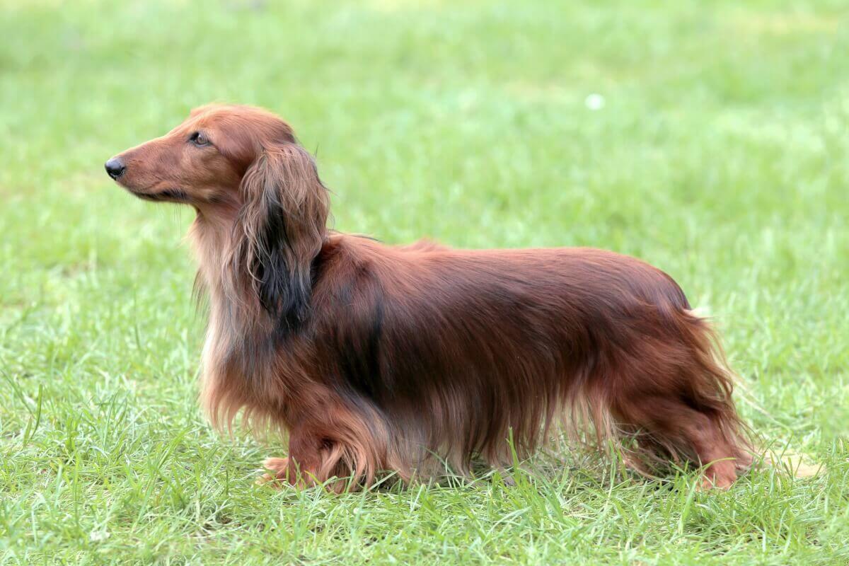Der Langhaardackel in voller Pracht. Charakteristisch für diese Rasse sind ein langer Körper, kurze Beine und lange Ohren.