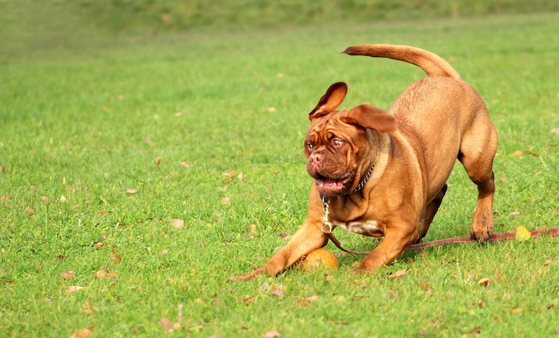 Rohes Fleisch für den Hund