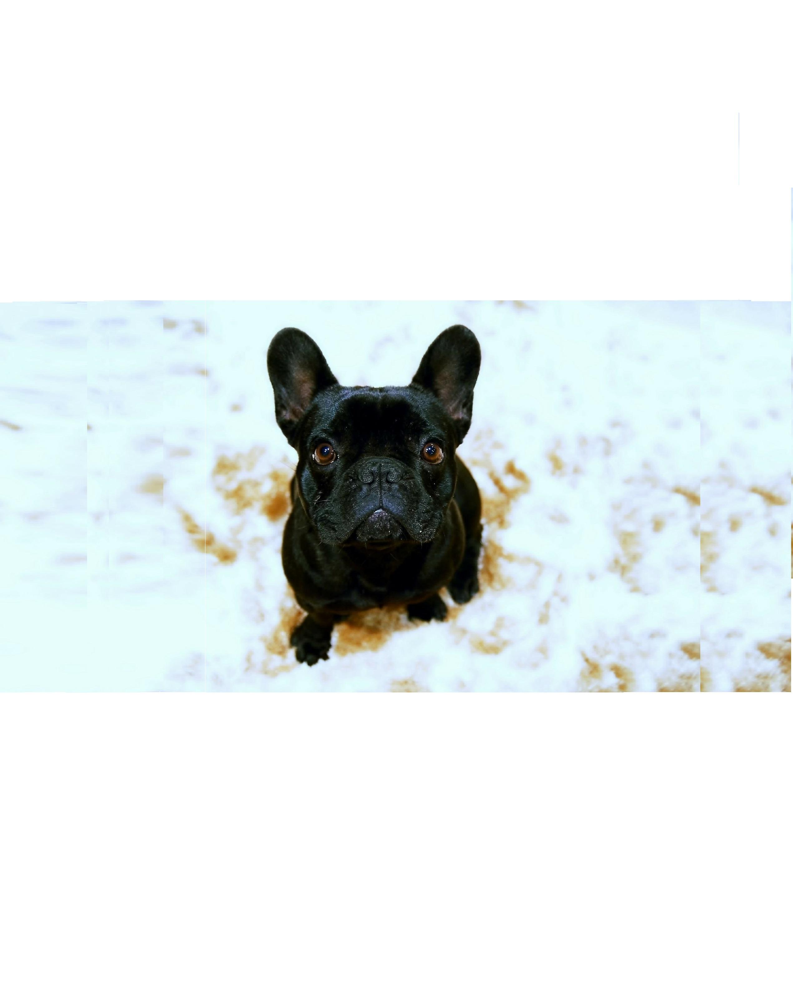 Es gibt die Französischen Bulldoggen in den verschiedensten Farben. Ihr habt die Wahl zwischen den gängigen Felltönen wie schwarz oder weiß.