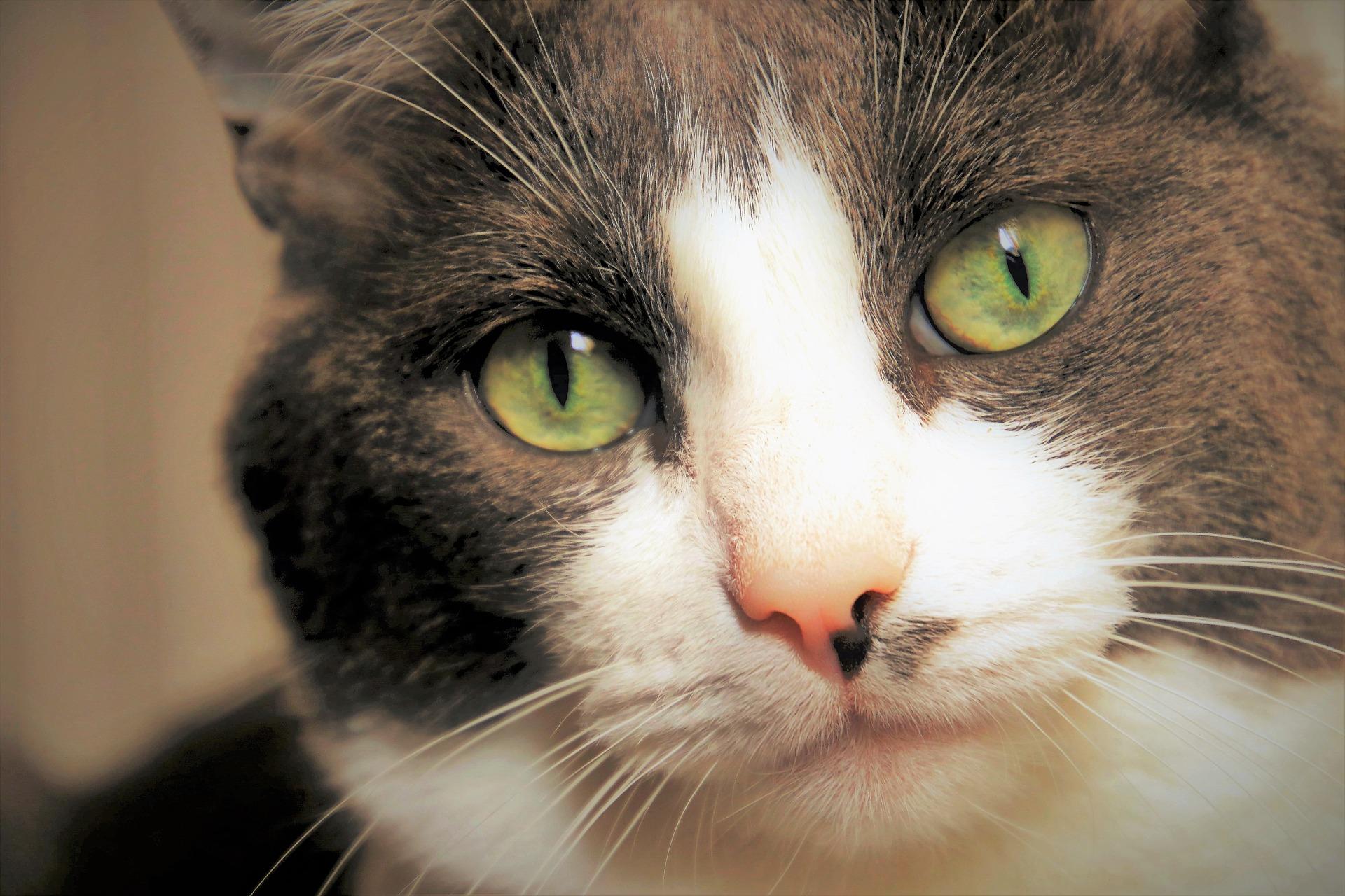 Schwarze Punkte auf der Schnauze einer Katze - ist das ein Grund zur Besorgnis?