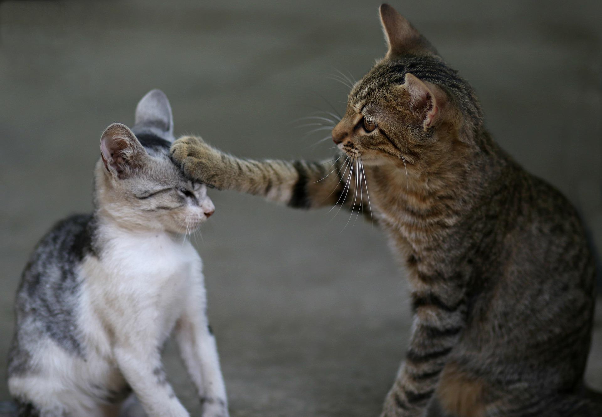 Eine neue Katze im Haus terrorisiert den bereits vorhandenen Bewohner