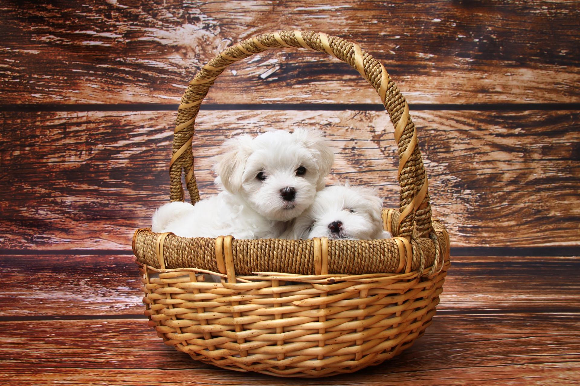 Fröhliche, gesellige Hunde, die gerne mit Menschen in Kontakt kommen. Das sind die Malteser.