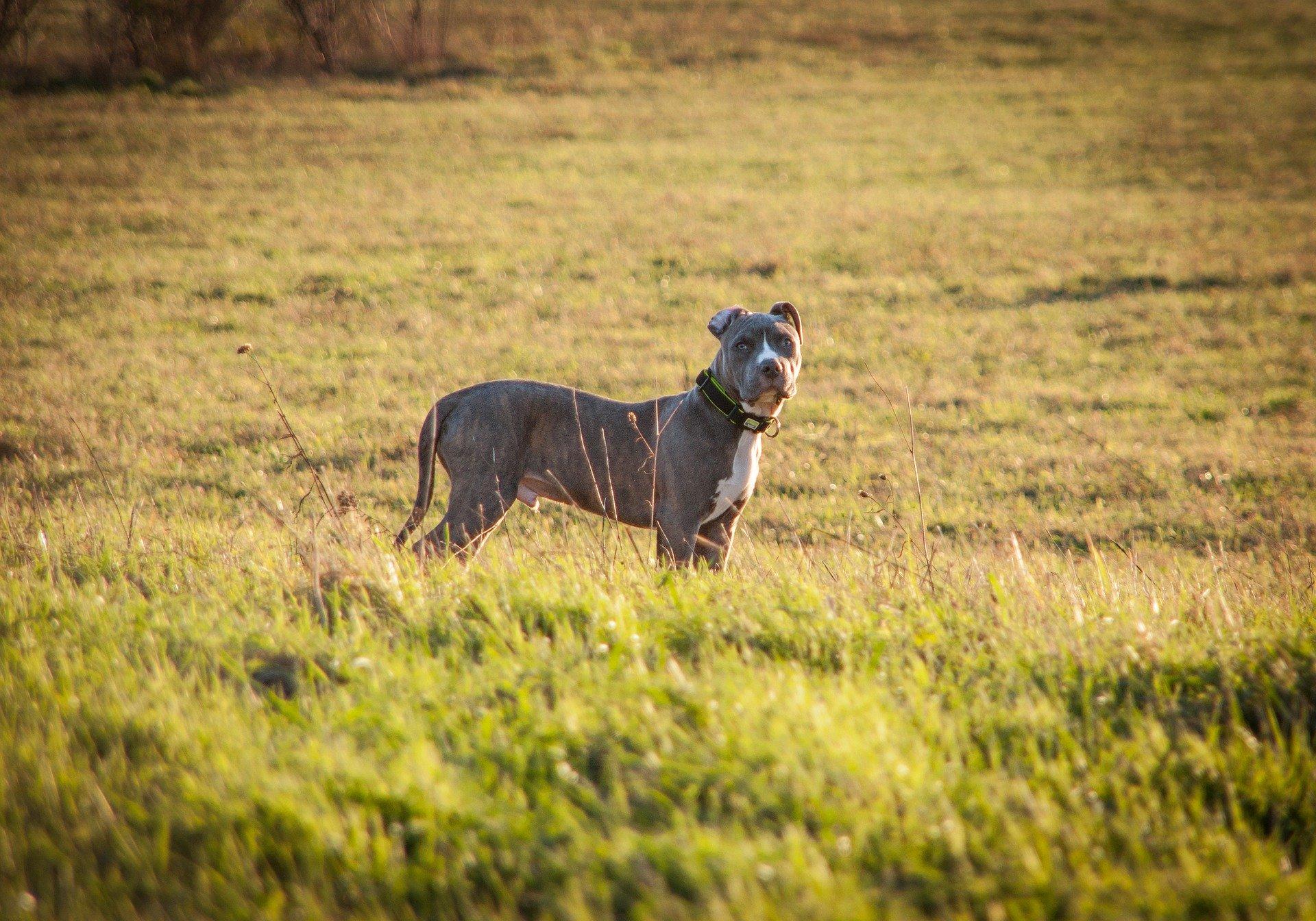 Der American Staffordshire Terrier gilt als die Hunderasse, die relativ gesund ist und bis zum Ende gute Kondition hat. Die Hunde sind stark, kräftig und muskulös.