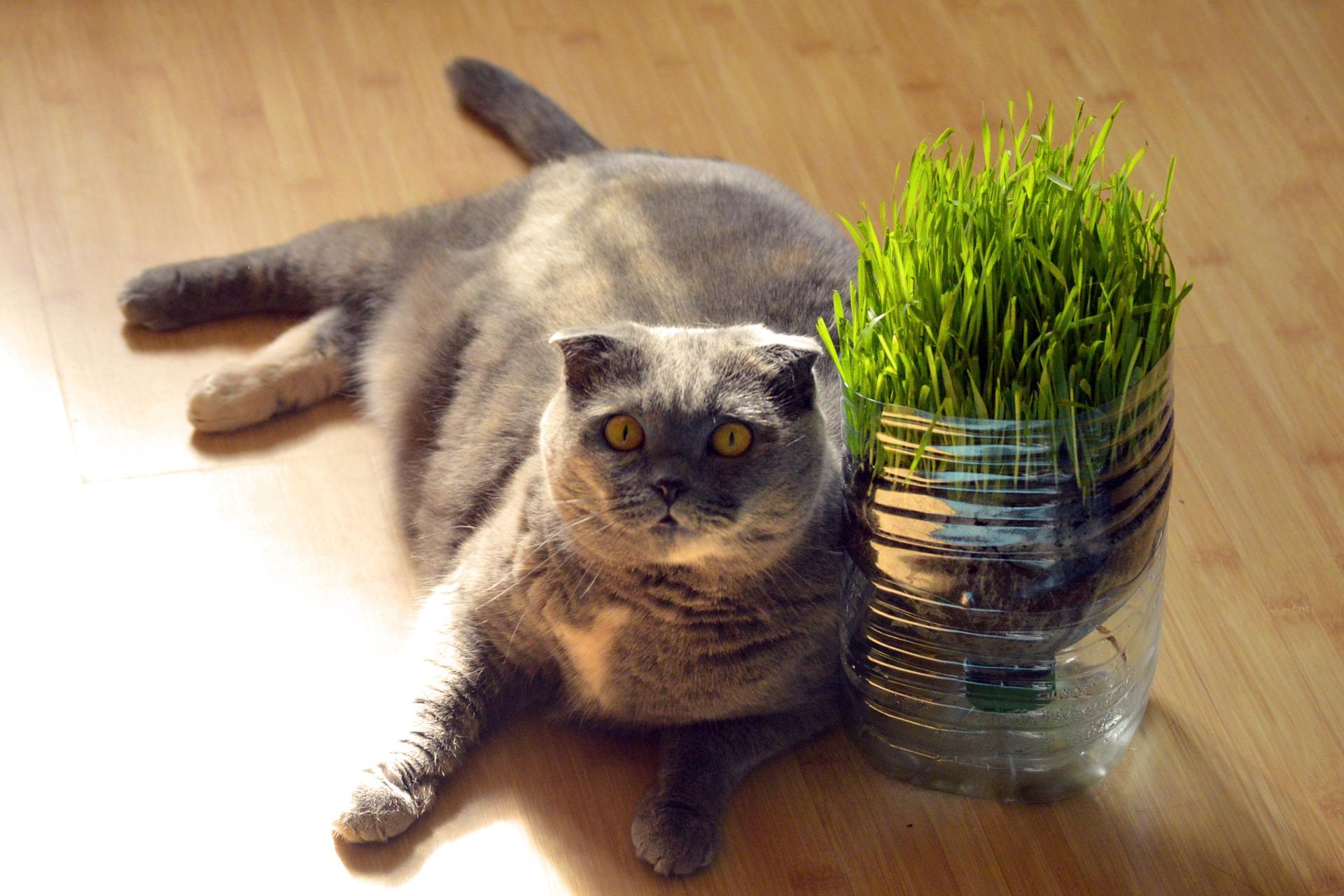 """Es ist zu beobachten, dass sowohl Tiere, die wild leben als auch Schoßkatzen gerne die Pflanzen beißen. Dies ist durch die physiologischen Bedürfnisse der Katzen gerechtfertigt. Es lohnt sich also, einer vierbeinigen Katze Zugang zum sogenannten """"Katzengras"""" zu gewähren."""