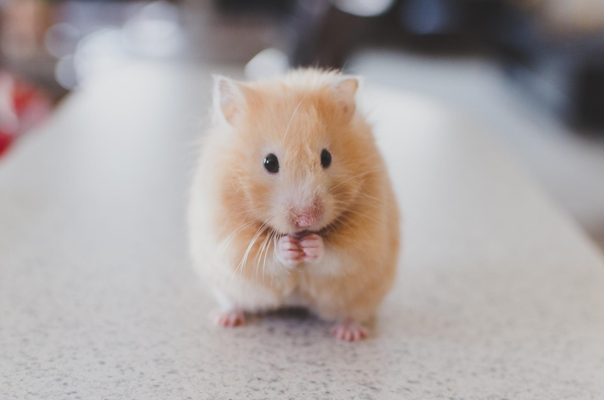 Getreide sollte den größten Bestandteil in der Trockenernährung von Hamstern spielen.