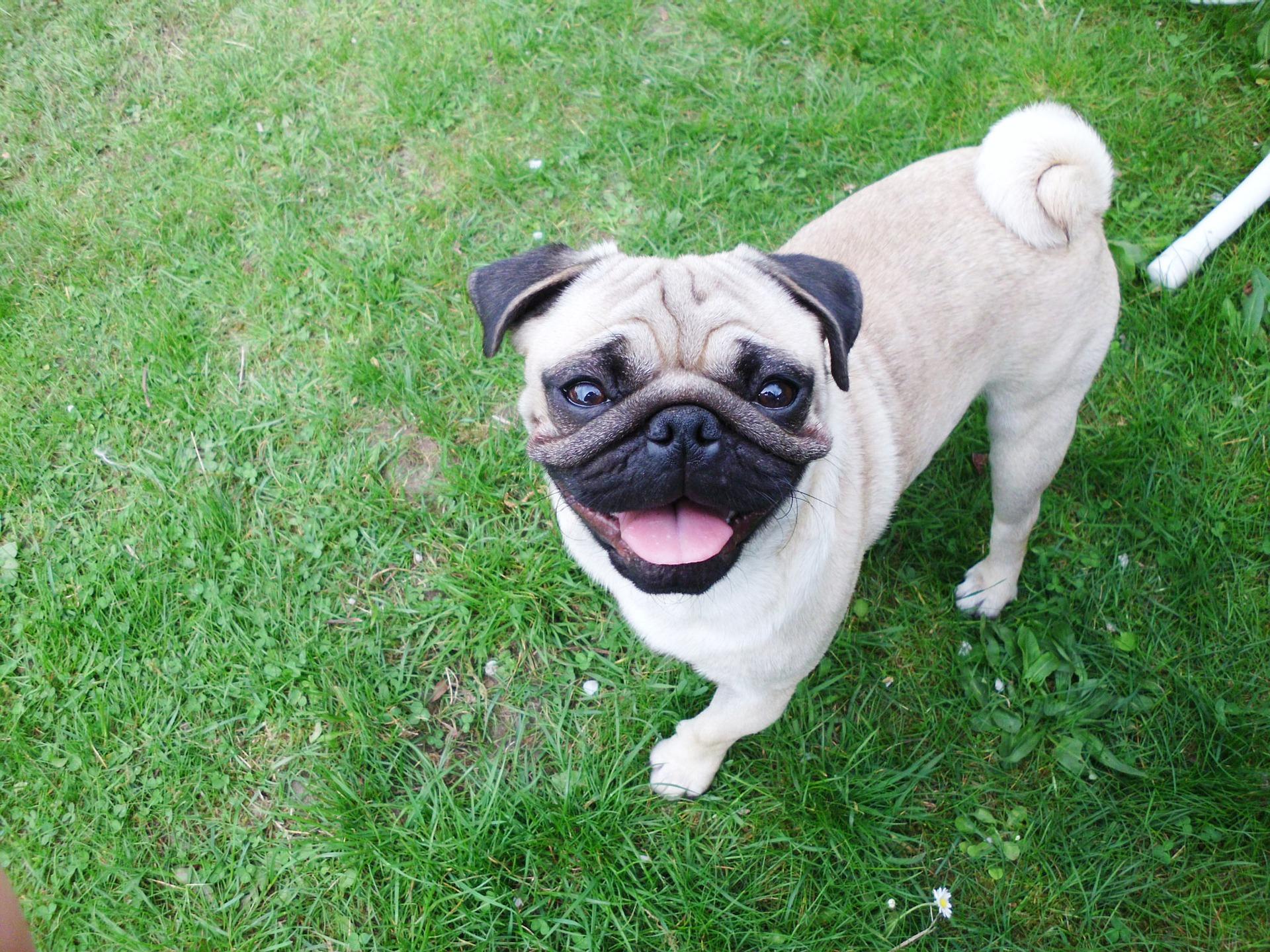 Überfütterung von Hunden ist ein häufiges Problem bei Mopsbesitzern.