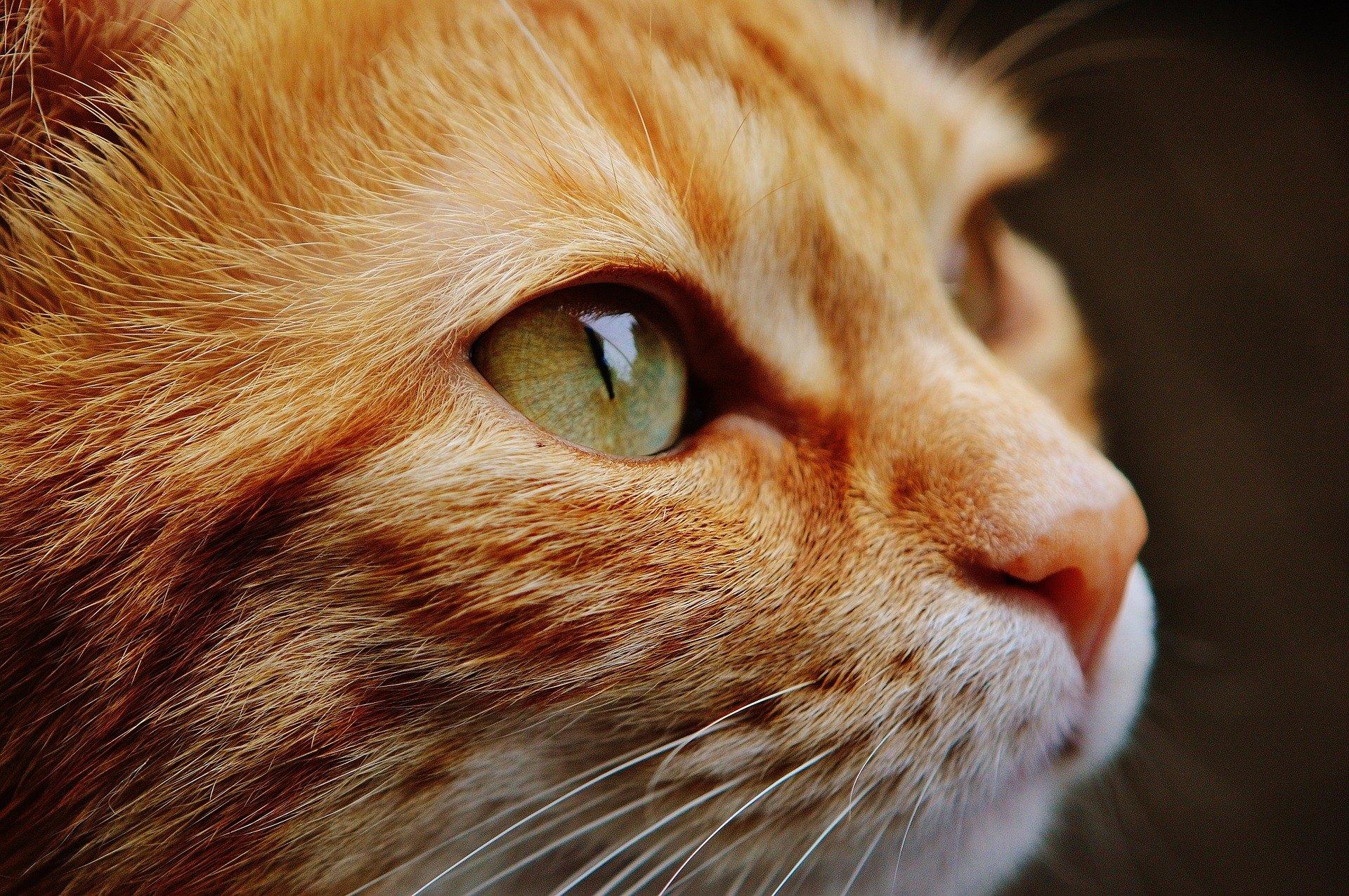 Die Augen von Katzen haben eine ziemlich ausgeprägte Struktur, die sich von der Anatomie des menschlichen Auges sehr unterscheidet.