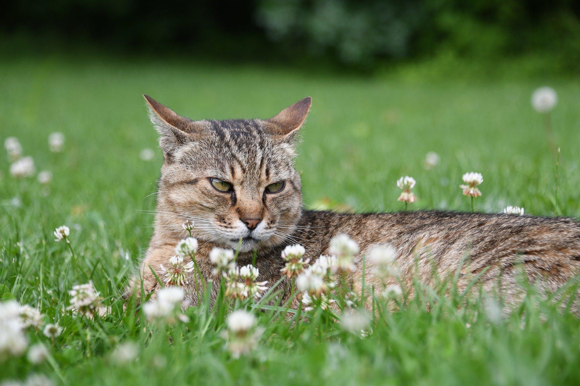 Eine aggressive Katze ist ein echtes Problem. Wenn Sie Hilfe bei der Linderung von schlechtem Verhalten benötigen, sollten Sie einen Tierarzt oder Behavioristen aufsuchen.