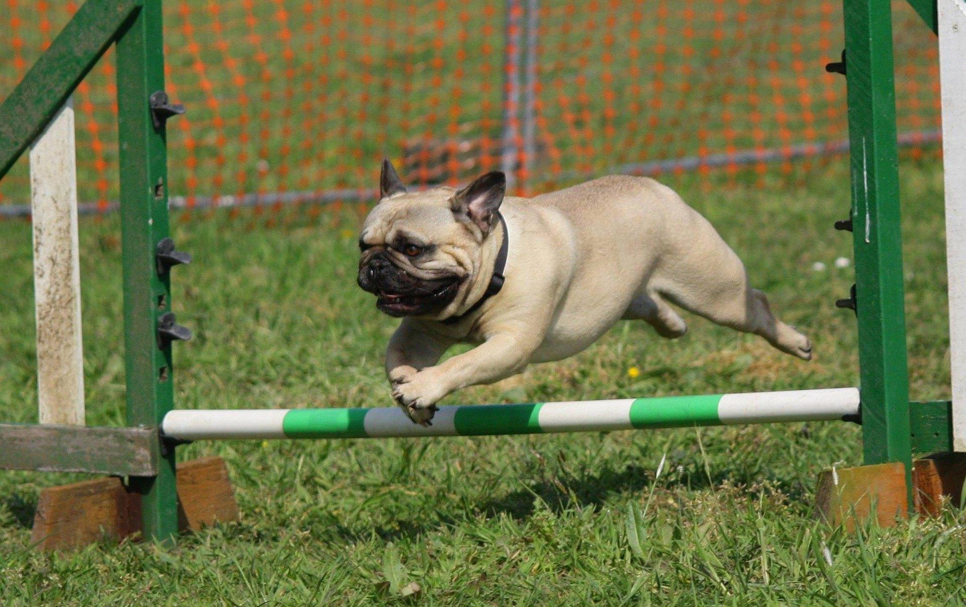 Arthritis kann jeden Hund betreffen. Es gibt jedoch Rassen, die für diese schmerzhafte Krankheit prädisponiert sind.
