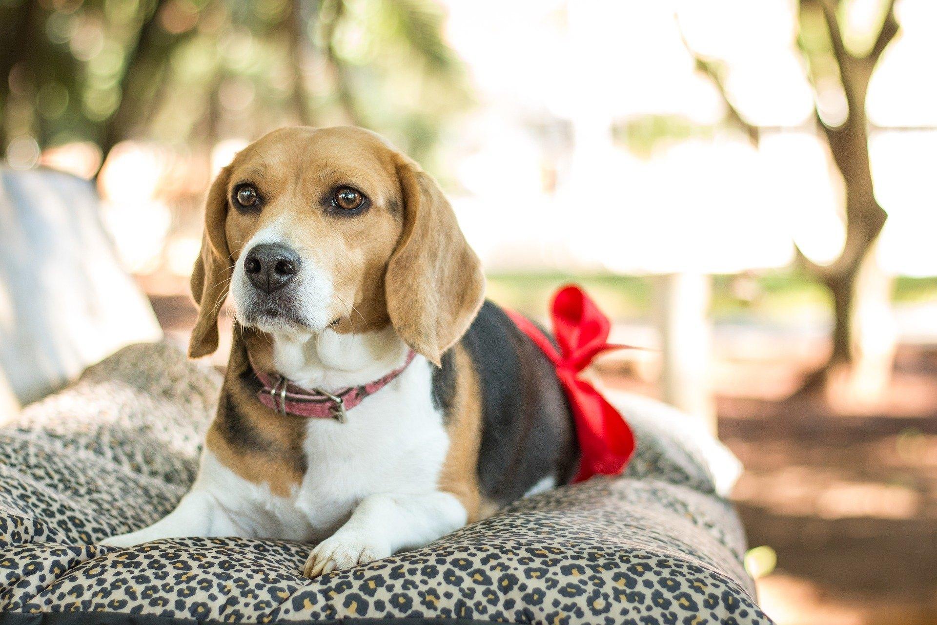 Die Sterilisation eines Hundes ist eine Methode zur Verringerung der unkontrollierten Fortpflanzung. Manchmal muss es aus gesundheitlichen Gründen durchgeführt werden.