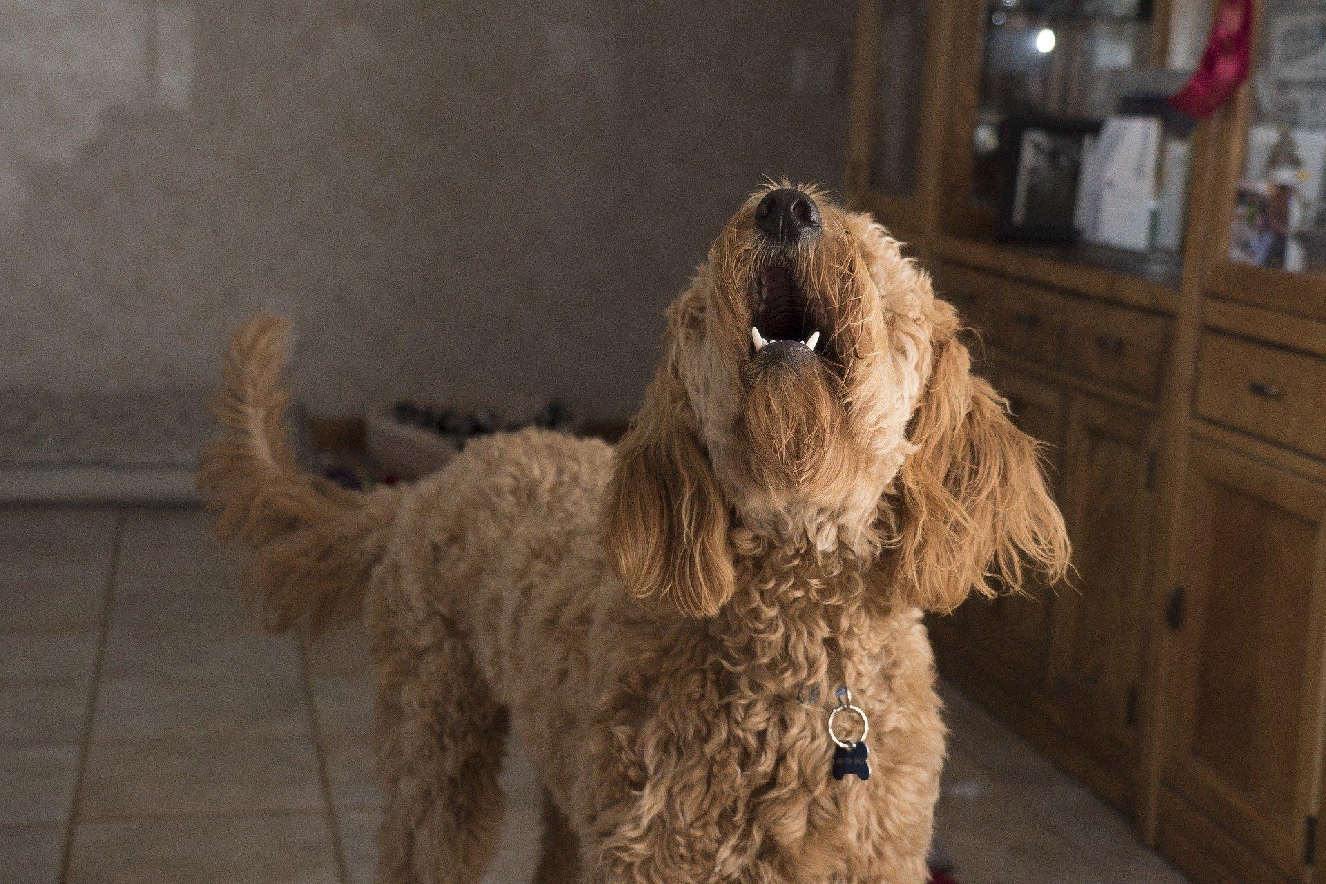 Ein Hund kann aus vielen Gründen heulen. Dieses Verhalten bedeutet Langeweile, Trennungsangst, Schmerz und kann sogar eine Reaktion auf einen Reiz sein.