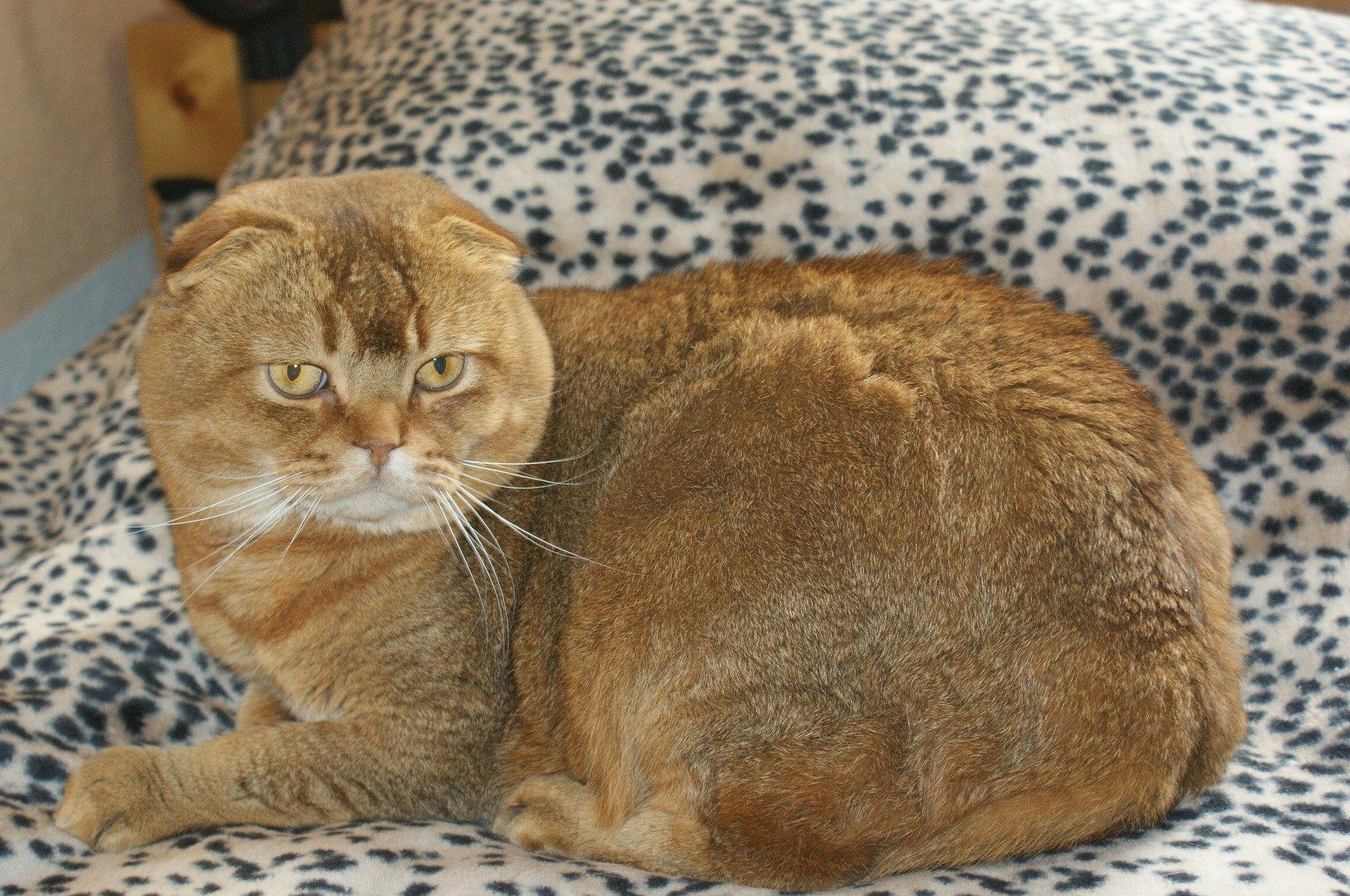 Die Scottish Fold Katze ist mittelgroß und hat ungewöhnliche Ohren. Sie sind klein, gerundet und weit auseinander gesetzt.