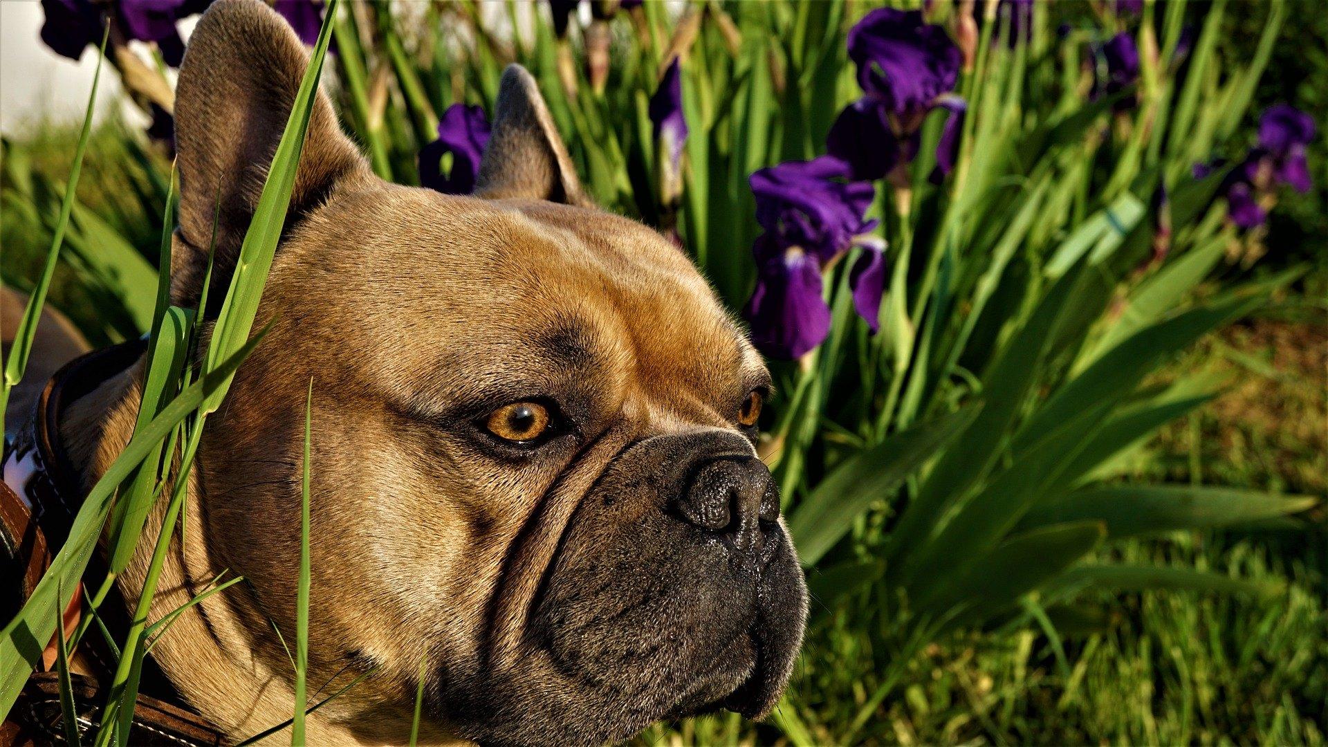 Ein von einer Mücke gebissener Hund kann Dermatitis entwickeln. Er ist auch dem Risiko von Infektionskrankheiten ausgesetzt, die von Insekten übertragen werden.