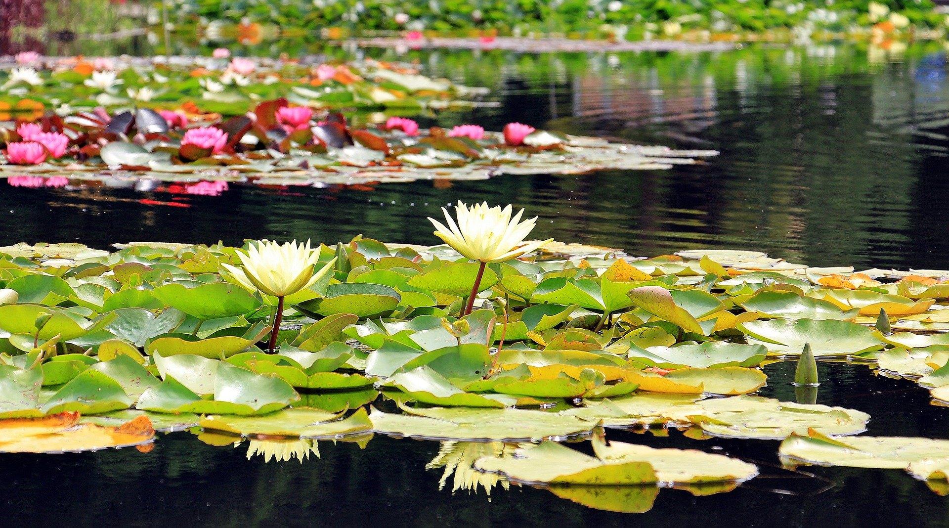 Pflanzen für einen Teich erhöhen seine Attraktivität. Viele von ihnen verbessern den Wasserzustand im Gartenteich.