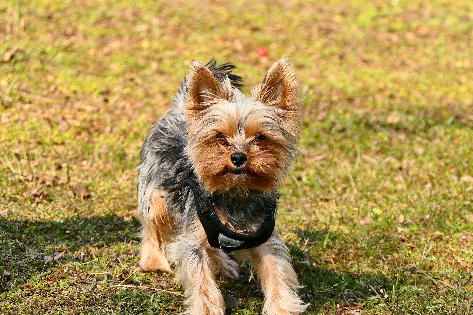 Ein Halfter ist eine Art Klemmhalsband, das am Mund eines Hundes angebracht wird und das Verhalten des Hundes während des Trainings beeinflusst.