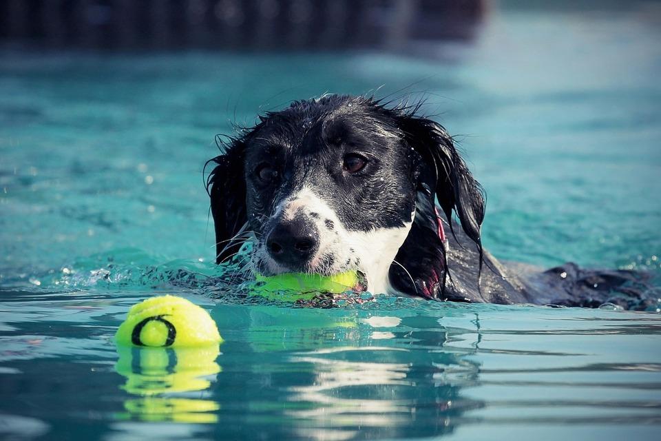 Der Hund fängt die Bälle im Pool. Im Wasser zu spielen ist an heißen Tagen eine gute Idee für Hunde, die schwimmen können.