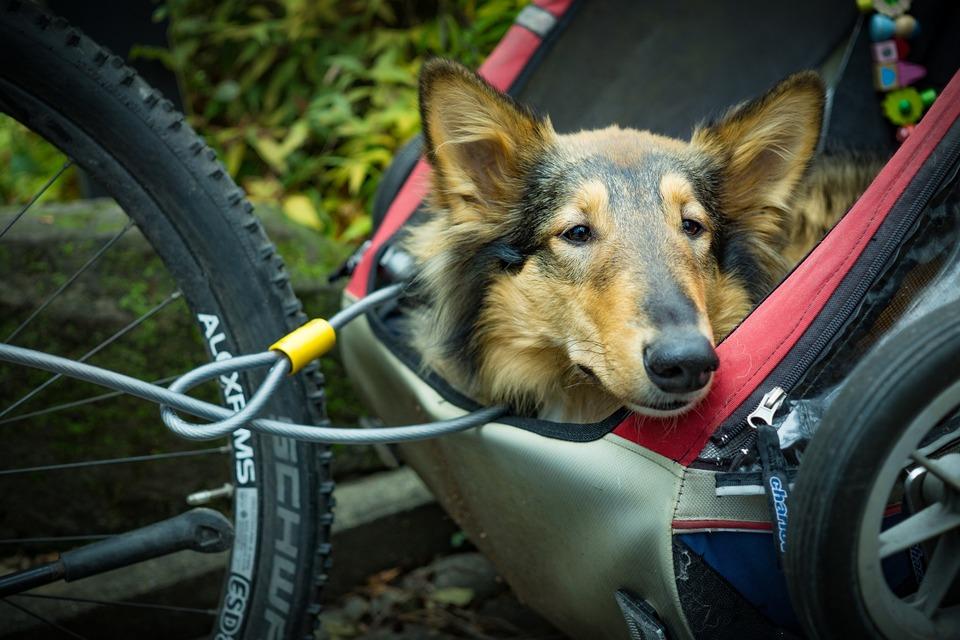 Hund in einem Wagen am Fahrrad befestigt. Er neigt den Kopf und beobachtet die Aussicht, gesichert mit einer Leine und einem geeigneten Seil.