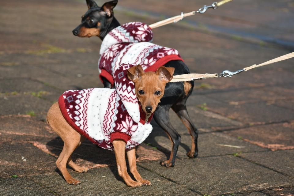 Kleidung für Hunde kleiner Rassen ist ein praktisches Gadget, um die kältesten Perioden zu überstehen.