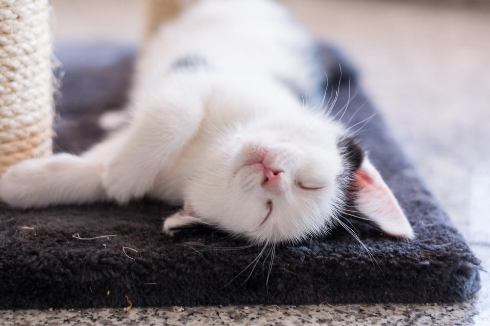 Katzen leben im Durchschnitt zwischen 12 und 20 Jahren, obwohl einzelne Rassen dieser Tiere - abhängig von genetischen Merkmalen, äußeren Bedingungen und Ernährung - eine andere durchschnittliche Überlebenszeit haben können.