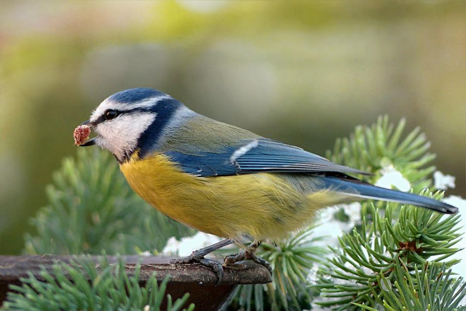 Wenn Sie Vögel füttern, können Sie Grundfutter aus einer Zoohandlung verwenden. Hin und wieder können Sie die Ernährung von Vögeln durch Obst variieren.