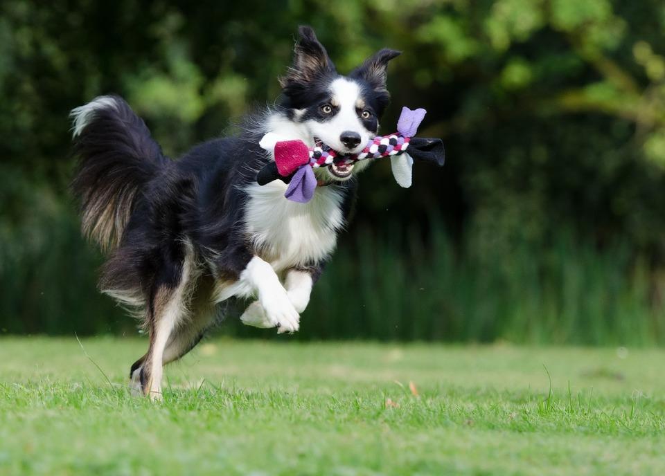 Ein junger Hund mit einem Spielzeug, der hoch springt, kann Stürzen und Gelenkproblemen ausgesetzt sein