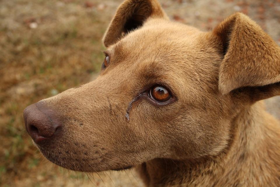 Hund mit tränenden Augen. Das kann Erkältung, Krankheit oder Allergiesymptome bei Ihrem Hund sein.