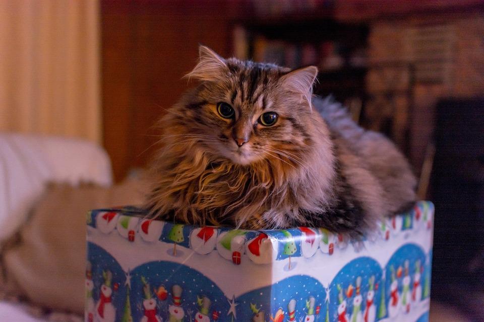 """Die ängstliche Katze liegt auf einem Geschenk. Weihnachten für Katzen ist nicht einfach. Sie sind mit vielen Stressreizen für Katzen verbunden. Geschenke können helfen, """"Weihnachtsstress"""" zu reduzieren."""