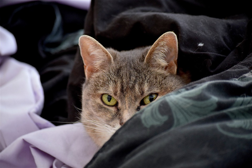 Graue Katze liegt im Bettzeug. Ein Auge ist vereitert. Wie erkennt man Allergie bei Katze?