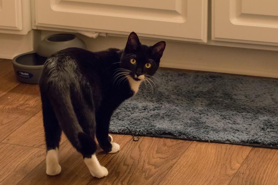 Eine entspannte, wohlfühlende Katze hat einen losen Schwanz. Bei der neugierigen Katze ändern sich nur die Gesichtsausdrücke, der Schwanz kann möglicherweise leicht angehoben sein oder vibrieren.
