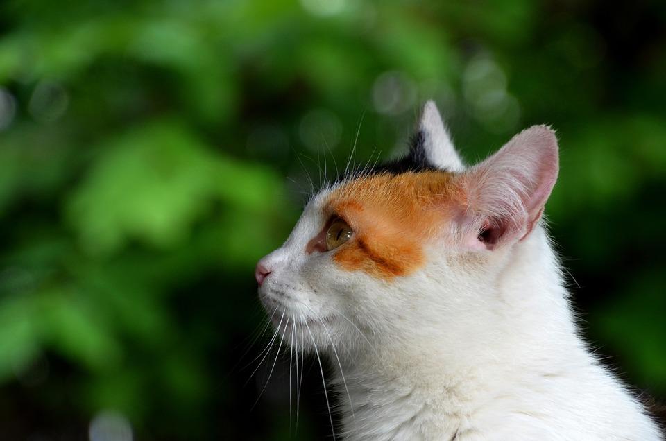 Eine Katze mit geraden Ohren mit einem sichtbaren äußeren Auslass des Gehörgangs.