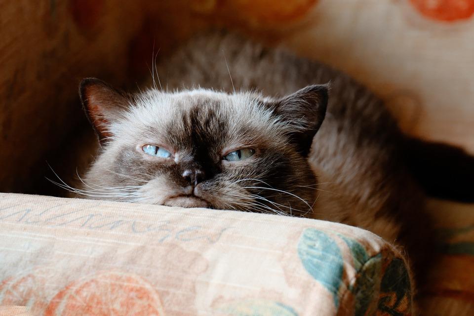 Die Katze, neugierig, die die Gegend erkundet, hat abstehende Vibrissen, die nach vorne gerichtet sind.