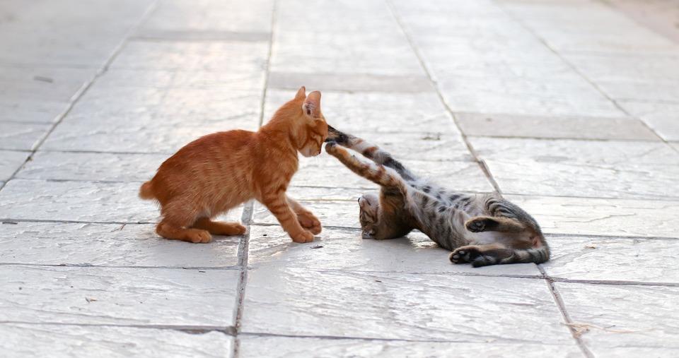 Kätzchen während eines Kampfes. Der Angreifer liegt auf dem Rücken und zeigt seine starke Waffe - vier Pfoten mit messerscharfen Krallen. Das zweite Kätzchen schützt die Ohren, indem es sie nach hinten lenkt. Erhöhtes Fell lässt es größer erscheinen.