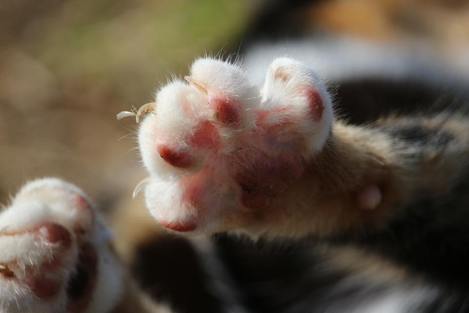 Träger der Bakterien, die eine Katzenkratzkrankheit verursachen, sind meist vernachlässigte Katzen und Katzen, die alleine ausgehen.