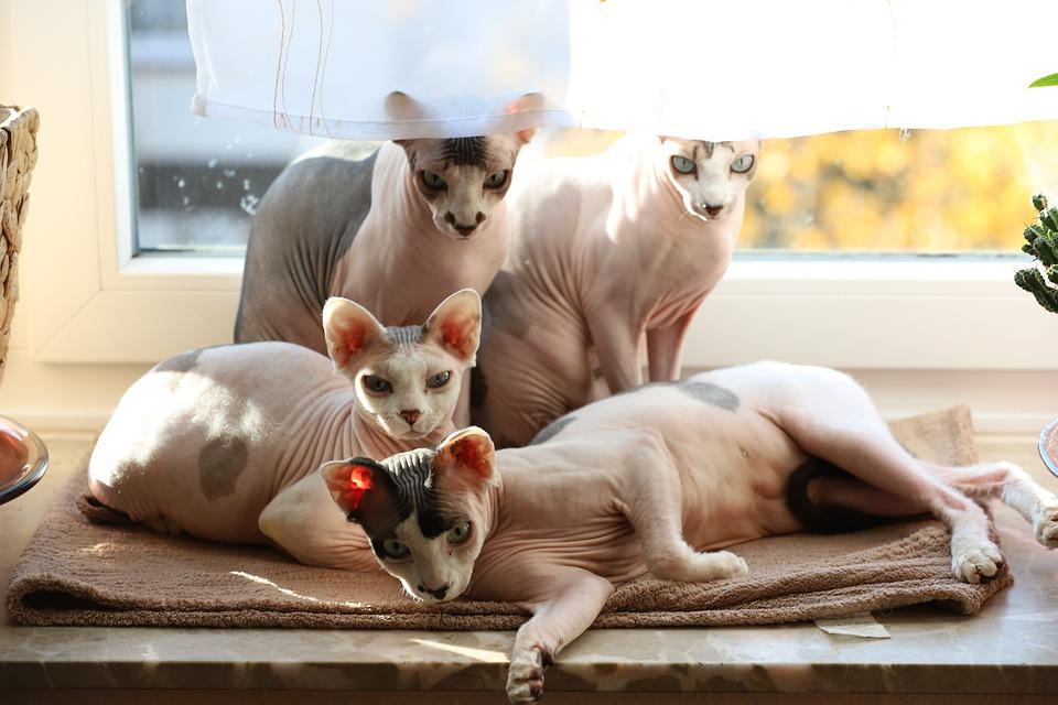 Eine Familie von Sphynx-Katzen. Der gesamte Generationsquerschnitt.